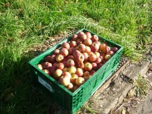 Autour des pommes-3